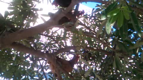 How the birds (Chickens) climb up on the tree