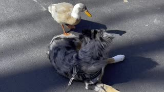 Doggy Rolls Over to Play With Duck