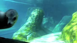 Playful sea lion at the St. Louis Zoo - Video