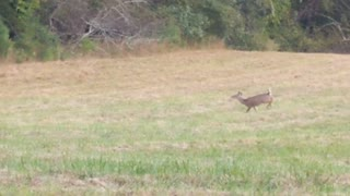 Young buck fails at trying to swoon female deer