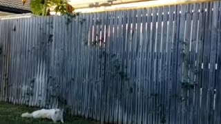 Collab copyright protection - white cat fence jump fail - Video