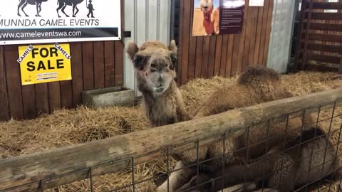 Funny Camel With Bad Breath Growls
