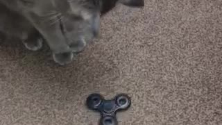 Cat Plays with Fidget Spinner - Video