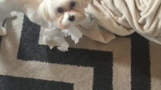 Collab copyright protection - small white dog toilet paper mouth - Video