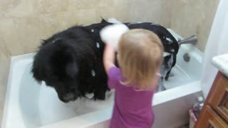 Toddler gives giant dog a bath - Video
