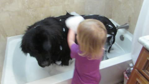 Toddler gives giant dog a bath