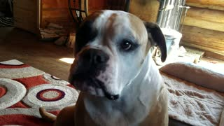 Singing American Bulldog can carry a tune - Video