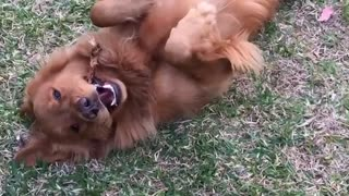 Golden tan dog lays on his back in garden  - Video
