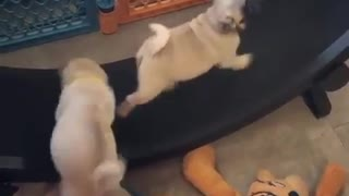 Pug puppies adorably run on exercise wheel