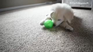 White golden retriever puppy on carpet playing with green ball