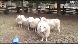 Sheep Entertaining People