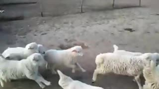 Hundreds of Lamb and sheep running for food in farm