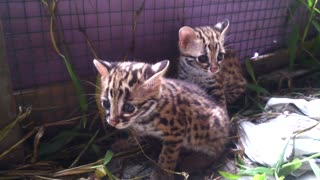 cute kitten Asian Leopar Cat  - Video