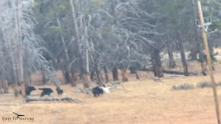 Wolves Stand off against Grizzly