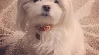 Small white dog red collar paws at nose