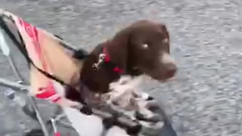 Tired puppy gets pushed in baby stroller
