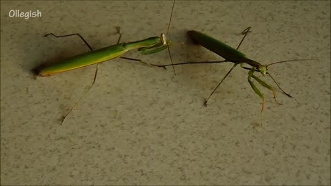 Meeting two mantises - a fight is inevitable