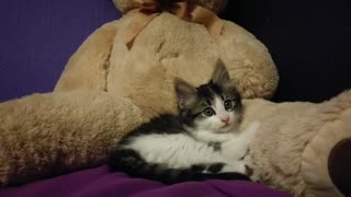 Kitten preciously kneads giant teddy bear - Video