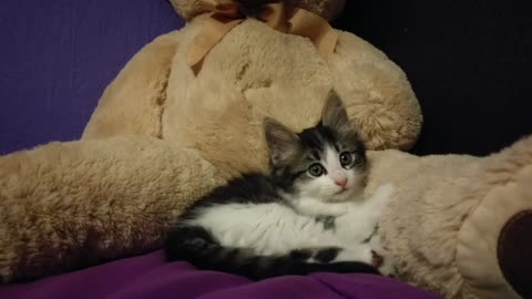 Kitten preciously kneads giant teddy bear