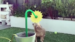 French Bulldog plays with sprinkler in epic slow motion