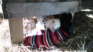Baby goats express their love by snuggling together
