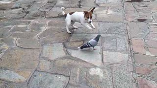 Fearless pigeon completely ignores overbearing barking puppy - Video