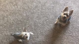 Puppy sits for the first time