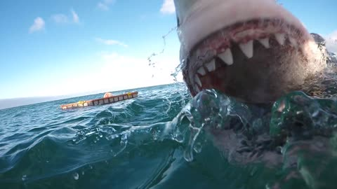 Up-close footage of an attacking Great White Shark