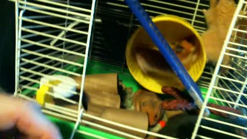A Good Look At My New Hamsters