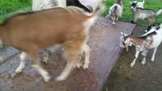 Rescued Gimpy The Disabled Goat  - Video