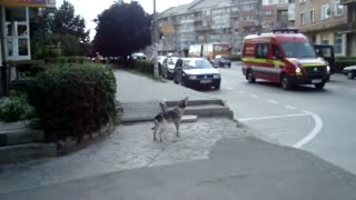 "Dog ""sings"" along with passing ambulance"