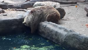 Bear saves drowning crow at Budapest Zoo - Video