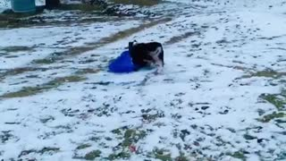 This Australian Shepherd loves to go sledding over and over again