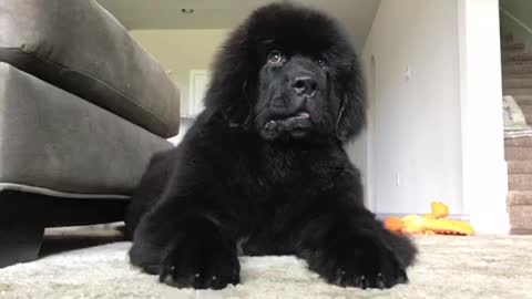 "Gigantic fluffy Newfoundland puppy ""attacks"" owner"