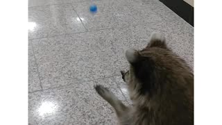 Raccoon With Bounce Ball  - Video