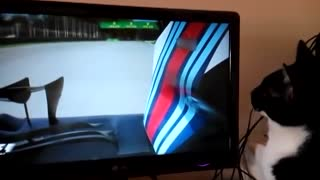 Cat watches Formula 1 race on TV - Video