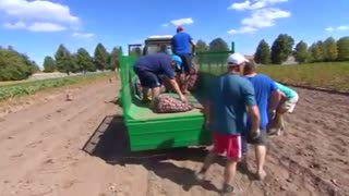 Belarus' Lukashenko digs potatoes from his backyard - Video