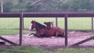 Baby goats climb onto patient horse named Mr. G - Video