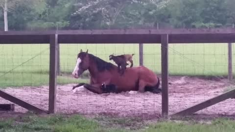 Baby goats climb onto patient horse named Mr. G