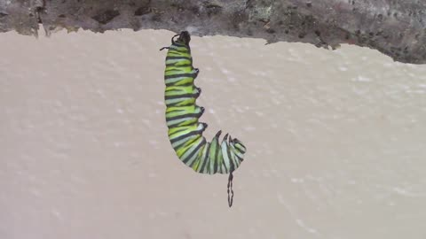Time lapse captures caterpillar metamorphosis into chrysalis