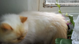 My persian cat mumbles to herself while hunting birds  - Video