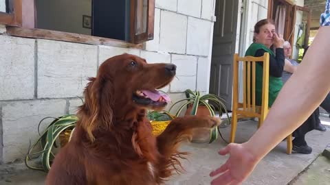 Polite dog likes to shake hands with humans