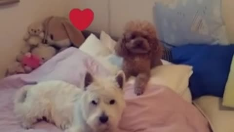 Westie and poodle love story