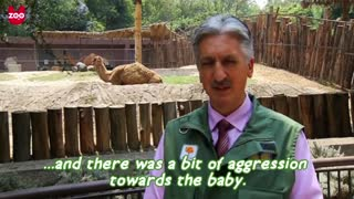 Adorable Baby One-Humped Camel - Video