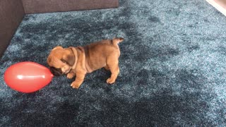 Balloon love with puppy  - Video