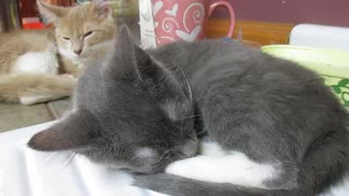 Snoring kitten aggravates older brother - Video