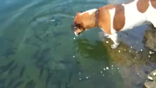 Jack Russell snatches fish from water! - Video