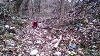 chihuahua dog in the forest cute - Video