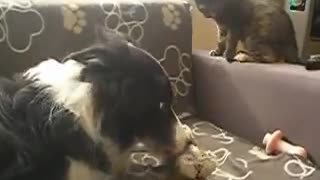 Kitten play fights Border Collie to get her teddy back
