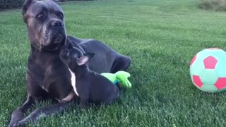 Puppy plays with daddy
